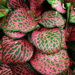 Fittonia 'Red'