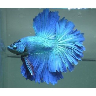 Betta Splendens HalfMoon Blu maschio