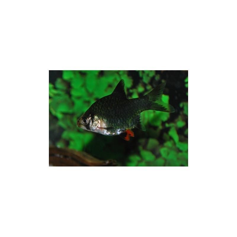 Barbus Tetrazona Puntigrus Verde