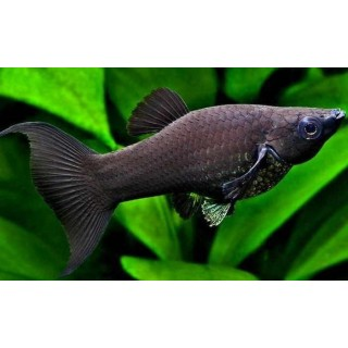 Black Molly Poecilia