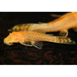 Ancistrus sp Gold Albino