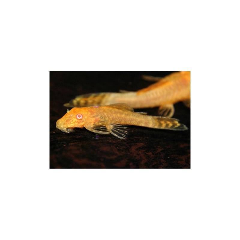 Ancistrus sp Gold Albino pesce pulitore
