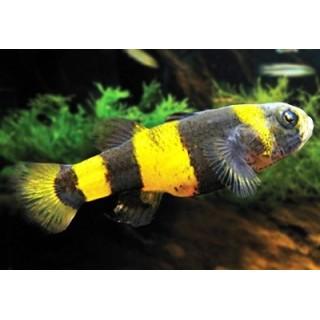 Brachygobius Doriae pesce ape