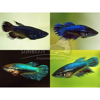 Betta Splendens femmina colori assortiti