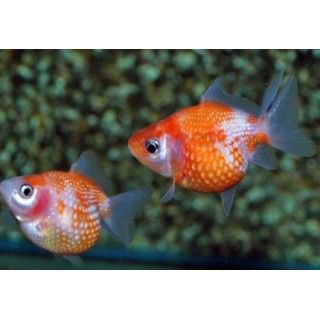 Oranda chicco di riso Assortiti
