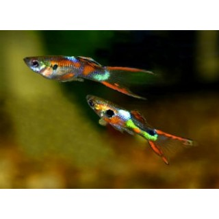 Guppy Endler Poecilia colori assortiti