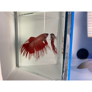 Betta Splendens Crowntail maschio cod 1