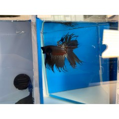 Betta Splendens Crowntail black red silver cod 3