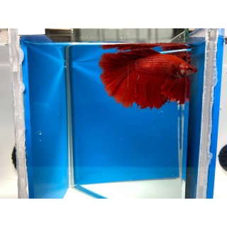 Betta Splendens HalfMoon super red XL
