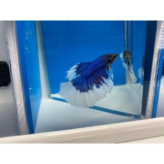 Betta Splendens HalfMoon blu white cod 7