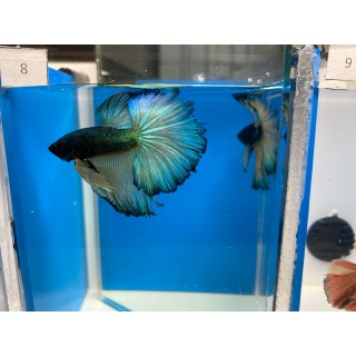 Betta Splendens HalfMoon blu green yellow cod 8