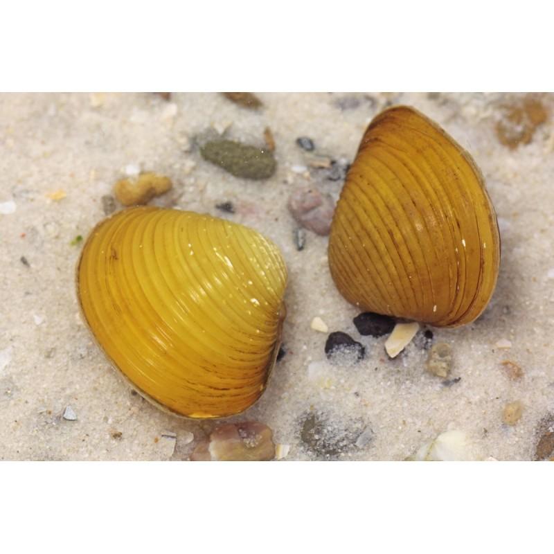 Corbicula Javanicus - vongola gialla