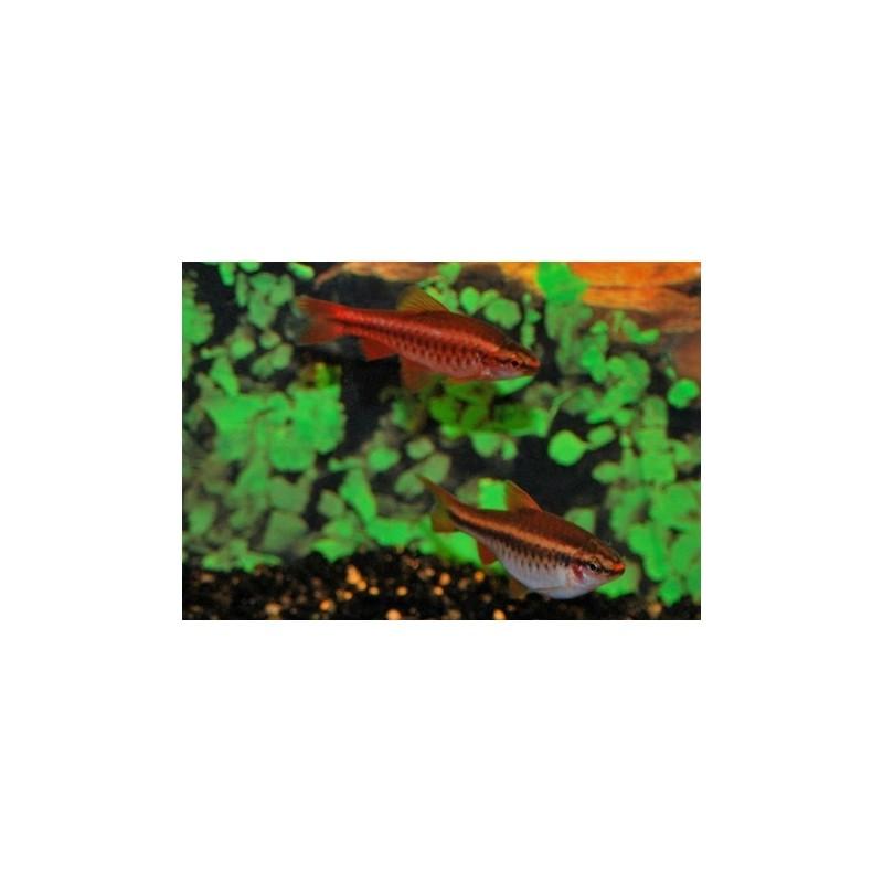 Barbus Puntius titteya red