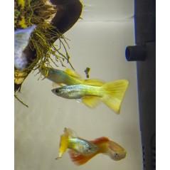 Guppy Poecilia golden yellow 3 - 4cm maschio