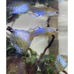 Guppy Poecilia reticulata blue glass 3 - 4cm maschio