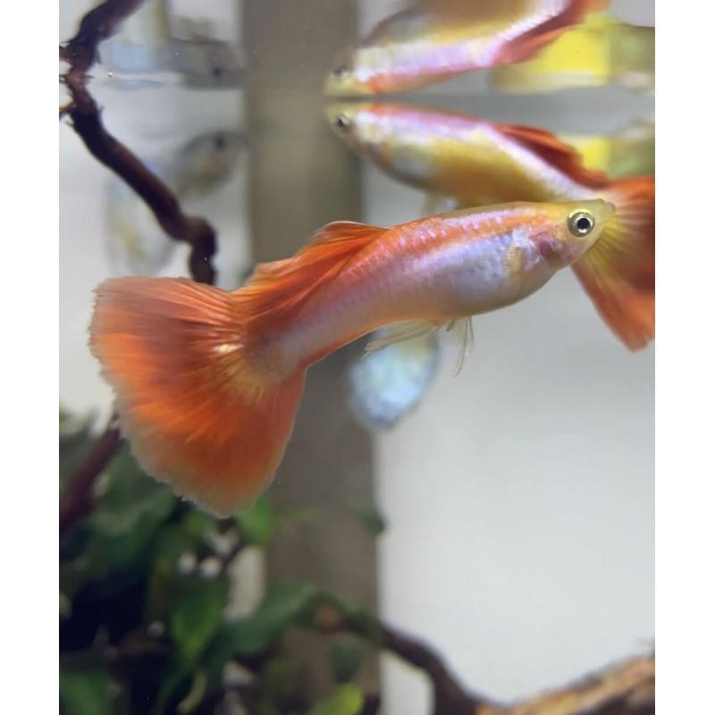 Guppy Poecilia reticulata full red 3 - 4cm maschio