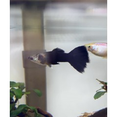 Guppy Poecilia reticulata blue moscow 3 - 4cm maschio