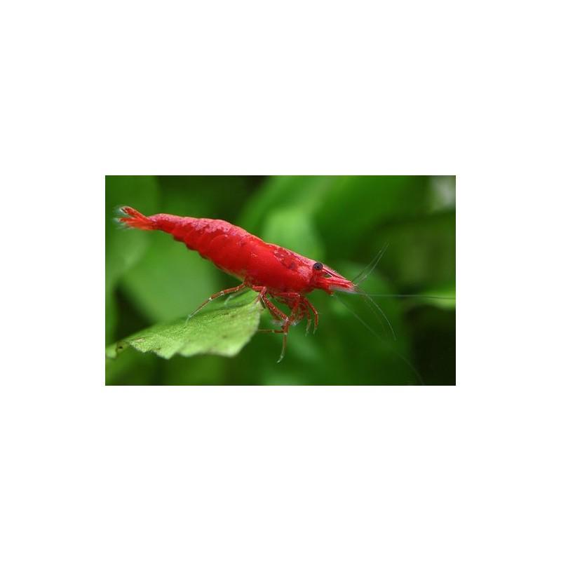Caridina Red cherry