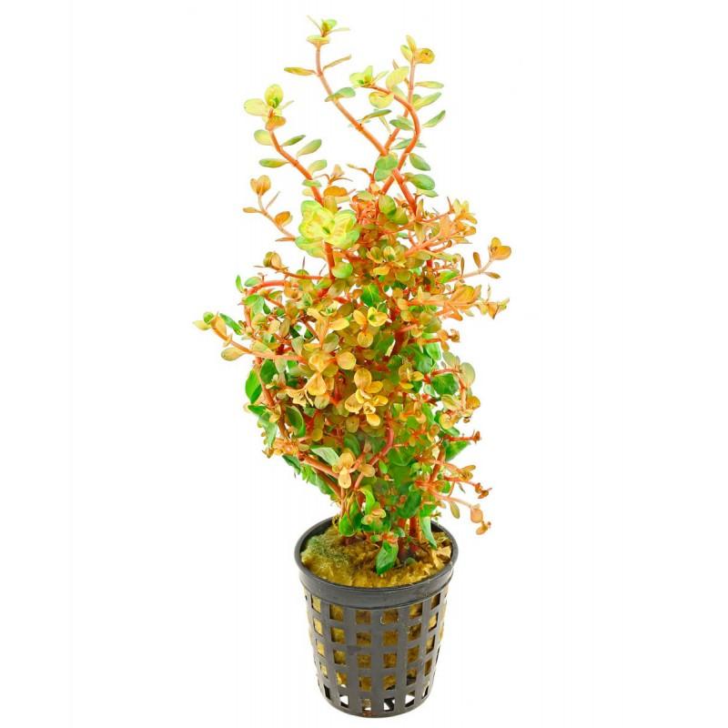Rotala rotundifolia Orange Juice
