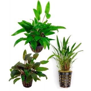 Assortimento Cryptocoryne Mix - 3 piante