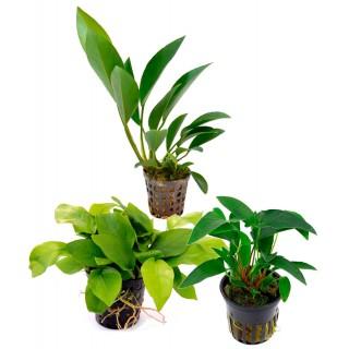Assortimento Anubias Mix - 3 piante