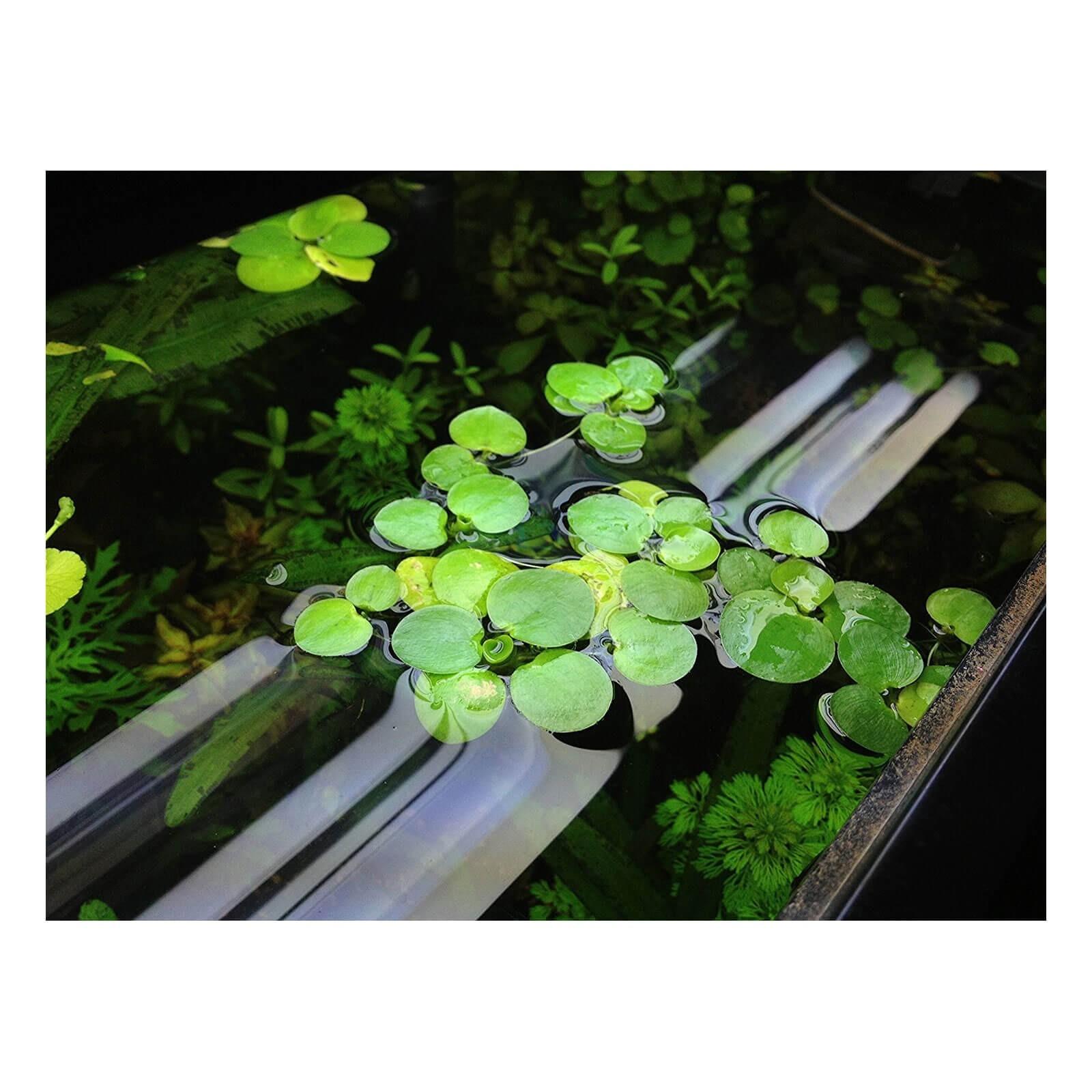 Limnobium laevigatum laevifolium pianta galleggiante in vitro
