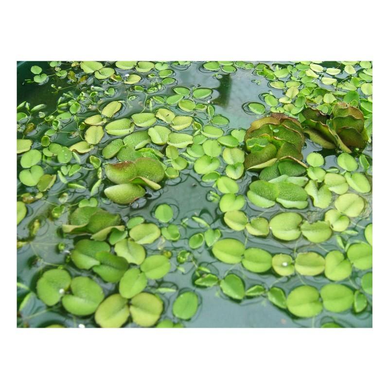 Salvinia auriculata pianta galleggiante antialghe in vitro