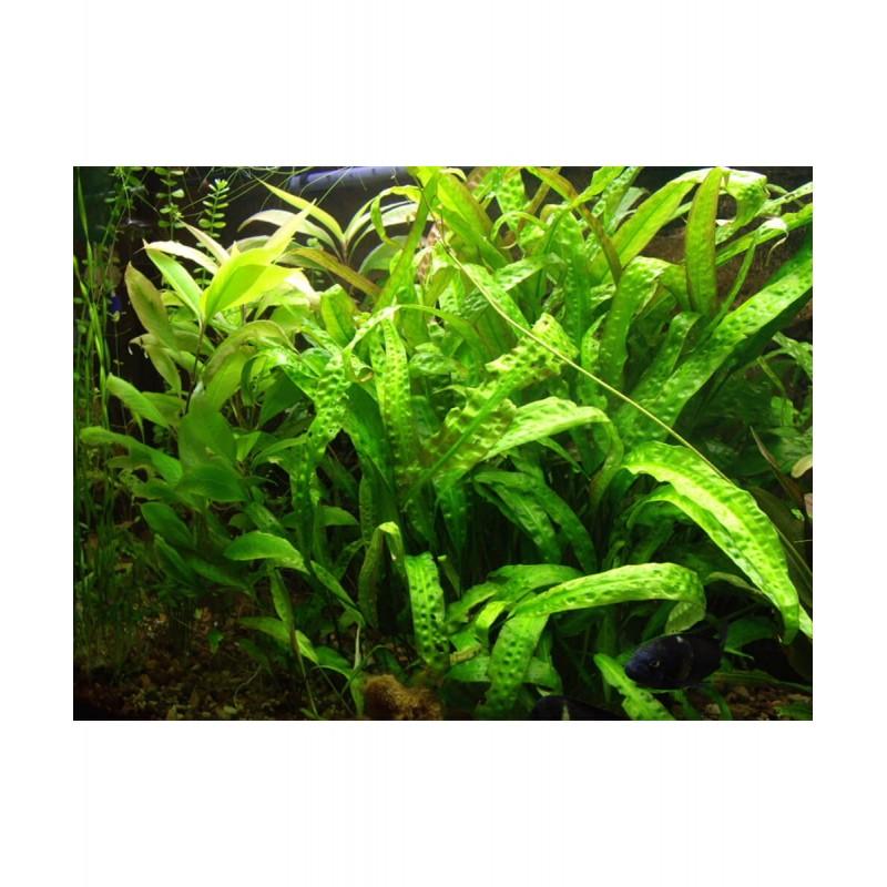 Cryptocoryne usteriana in vitro pianta rara